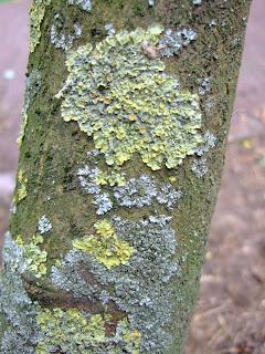 lichen fee