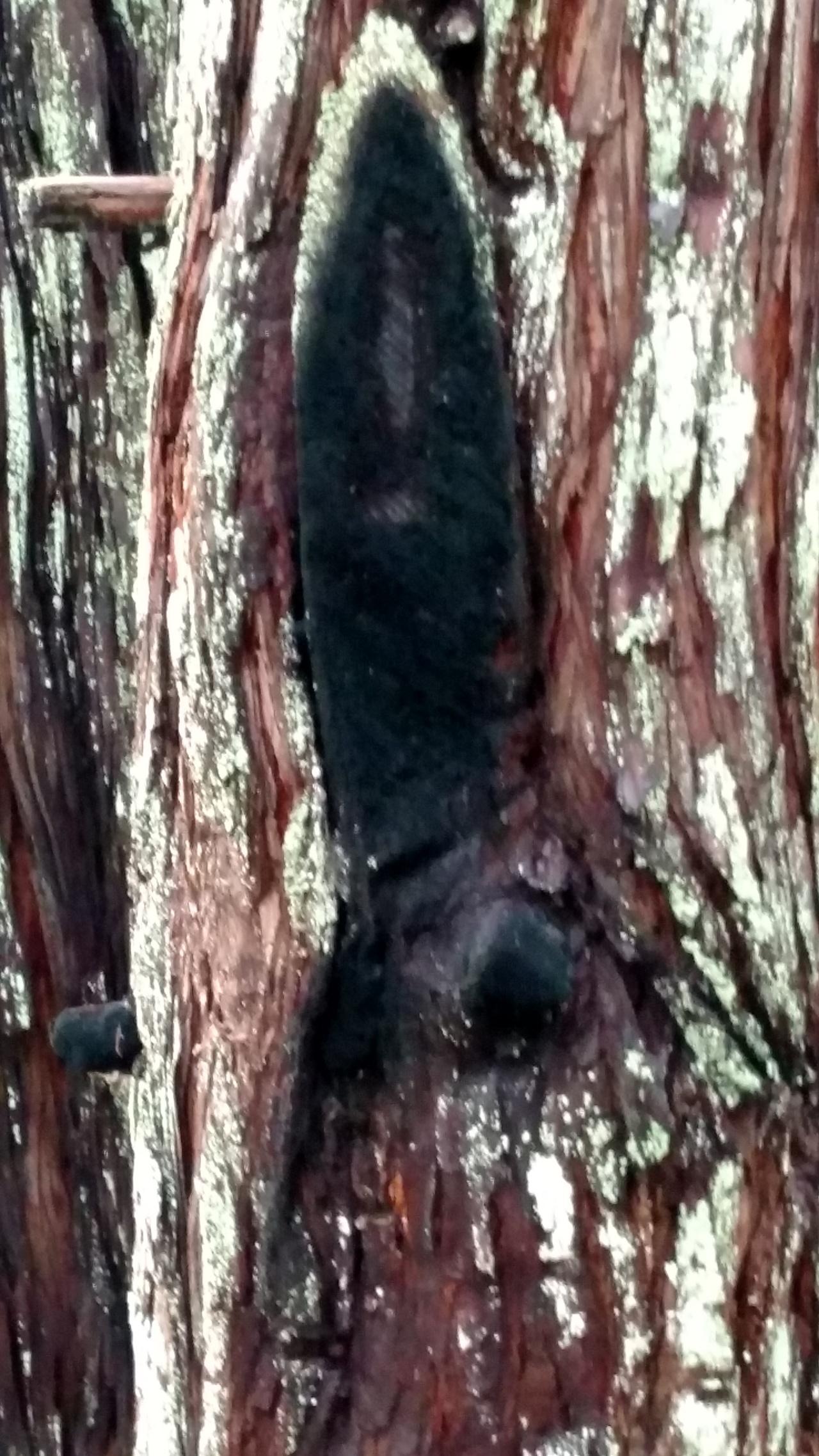 La Vierge Noire desSéquoias