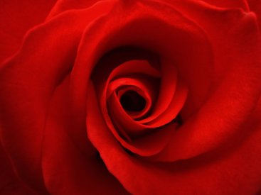 17672-red-rose-close-up-pv