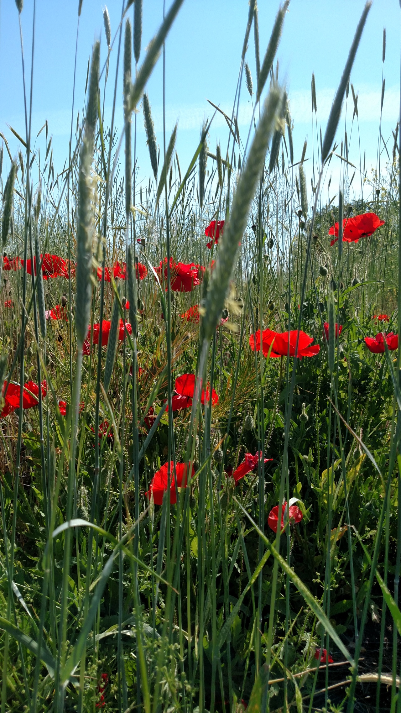 Poppies and WildRye