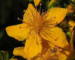Saint Johnswort and Christmas Day
