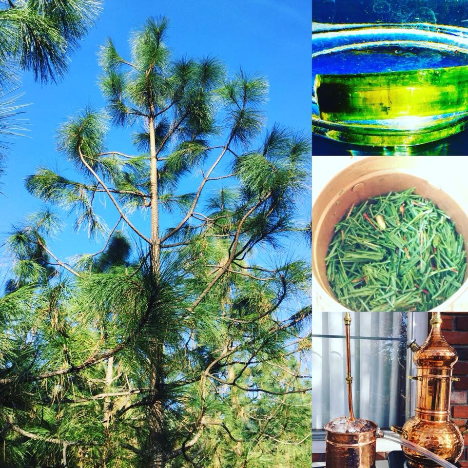 Knob-cone Pine